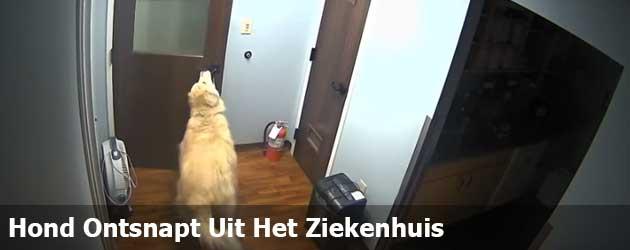 Hond Ontsnapt Uit Het Ziekenhuis