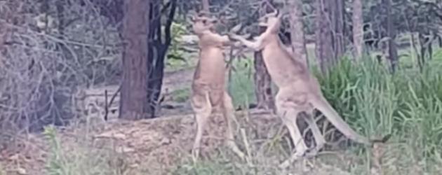 Hoe Stop Je Een Kangoeroe Gevecht?