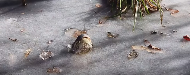 Zo Overleven Alligators De Vrieskou
