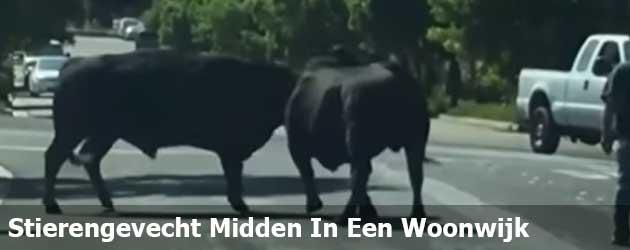 Stierengevecht Midden In Een Woonwijk